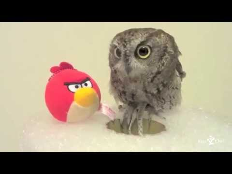 An Kuu owl performs a hole in one of Angry Birds/ フクロウのくうちゃん、ホールインワン