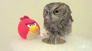 ニシアメリカオオコノハズクのくうちゃん、Angry Birdsのぬいぐるみを、...