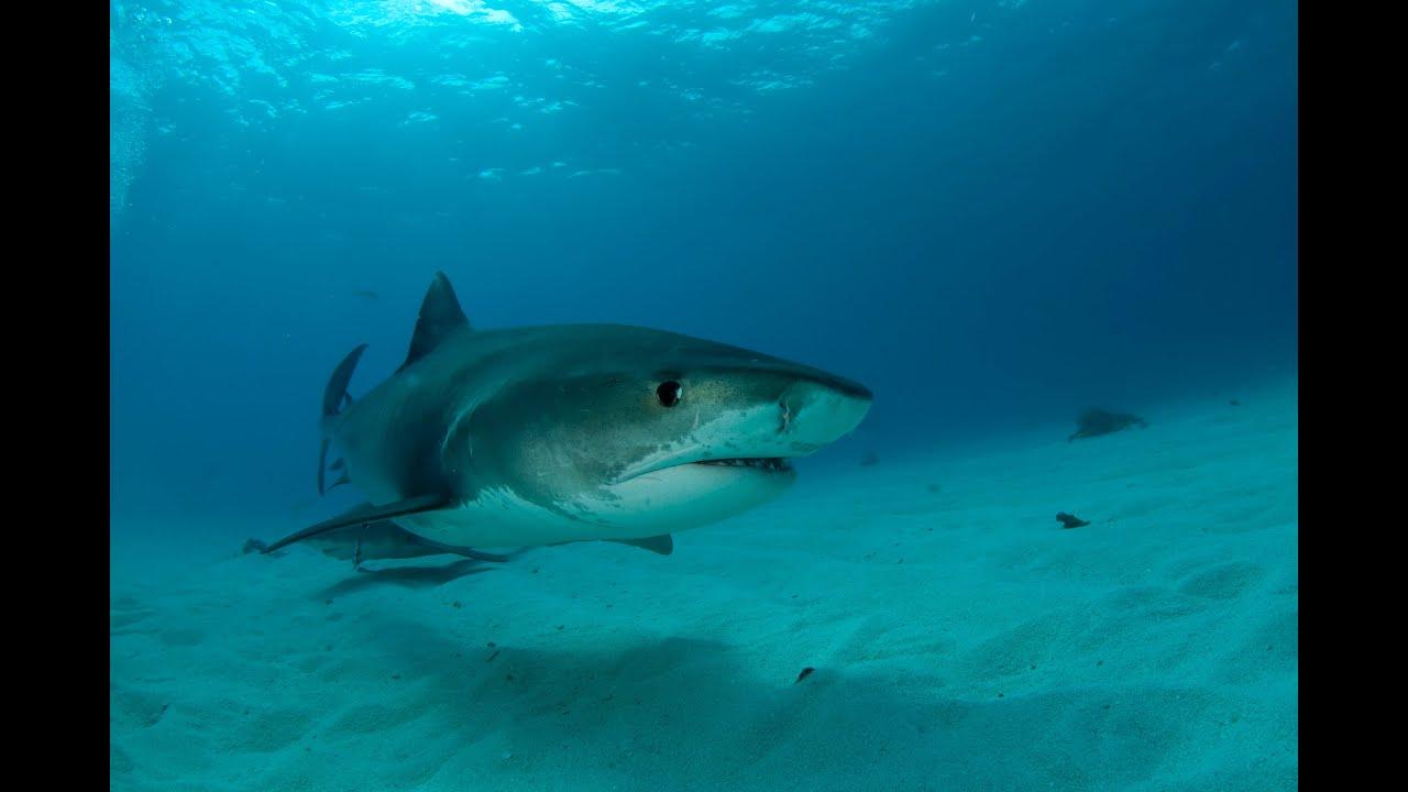 tiger shark galeocerdo cuvier