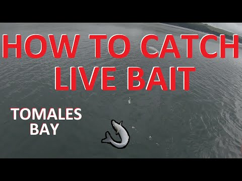 How To Catch Smelt For Live Halibut Bait | Tomales Bay, California