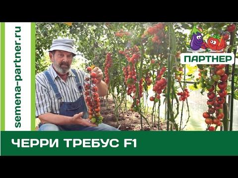 Вопрос: Сколько стоят кг домашних помидоров черри?
