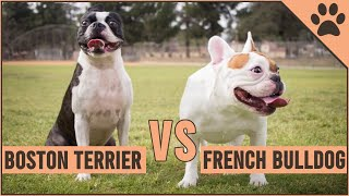 French Bulldog vs Boston Terrier   Which Breed Is Better?