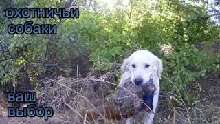 купить охотничью собаку