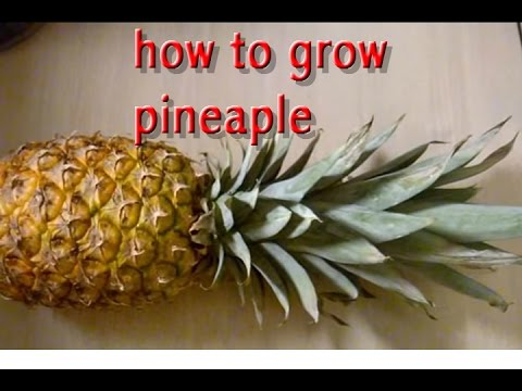 how to grow pineapple part 1 youtube. Black Bedroom Furniture Sets. Home Design Ideas