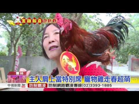 過年走春遛寵物雞 民眾搶拍討吉利 中視新聞20170131