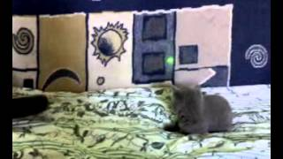 British Shorthair Cat Vs Green Laser Pointer