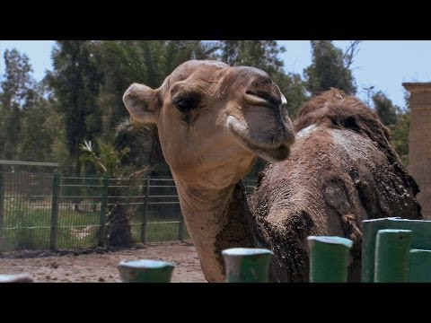 RAW: Camels preen at the Baghdad zoo