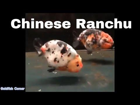 Chinese Ranchu Goldfish 中国兰寿金鱼👉