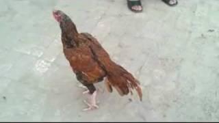 Aseel Sindhi Rooster by Nadeem khan