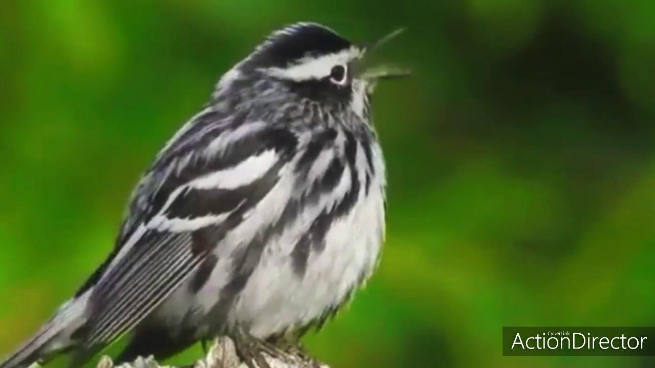 Burung Apung Branjangan Sawah Cici Padi Jenis Langka Youtube
