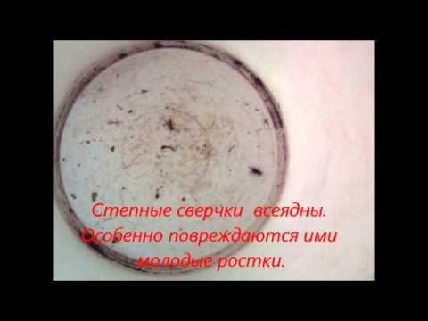 Степные сверчки - новые агрессивные вредители на огородах средней полосы России