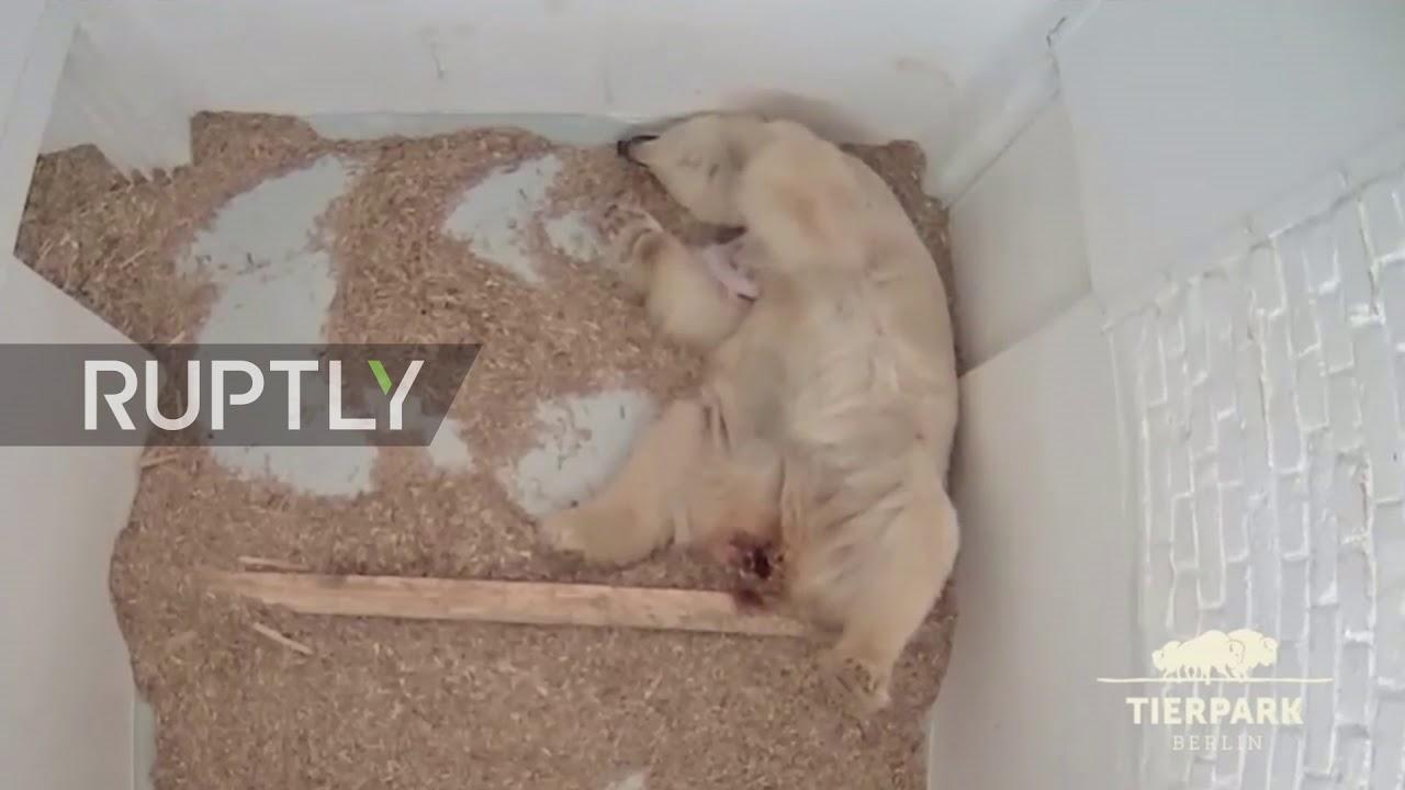 Germany: Berlin's polar bear Tonja bids farewell to yet another cub *ARCHIVE*