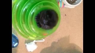 Черный вислоухий котенок. Шотландские котята.
