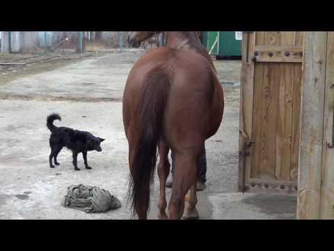 Как узнать беременность лошади видео