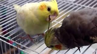 طريقة تنظيف قفص الطيور وتعطيره ومنع الحشرات بطريقه جميله