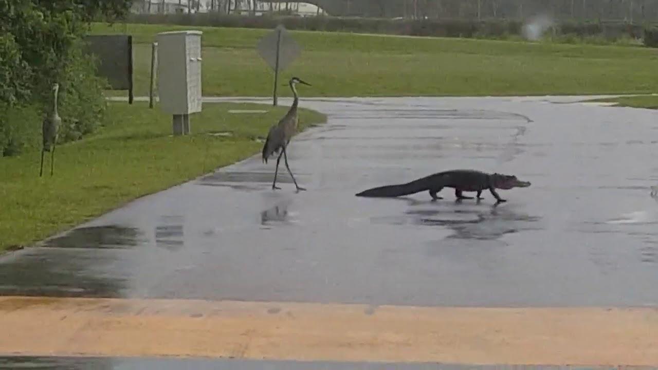 crane-wins-stare-down-with-gator