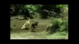Топ 10 моментов охоты в дикой природе  Часть 2