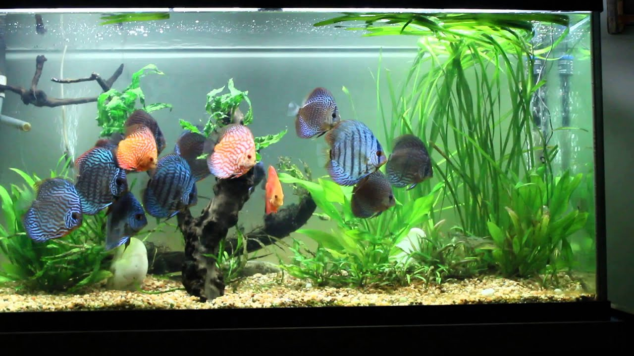 Live planted driftwood discus tank no co2 youtube for Fish tank driftwood