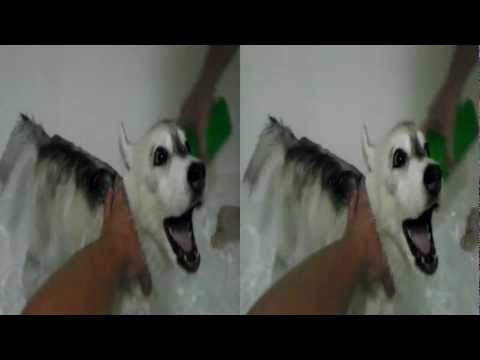 my-huskey-puppy-getting-a-bath-while-screaming
