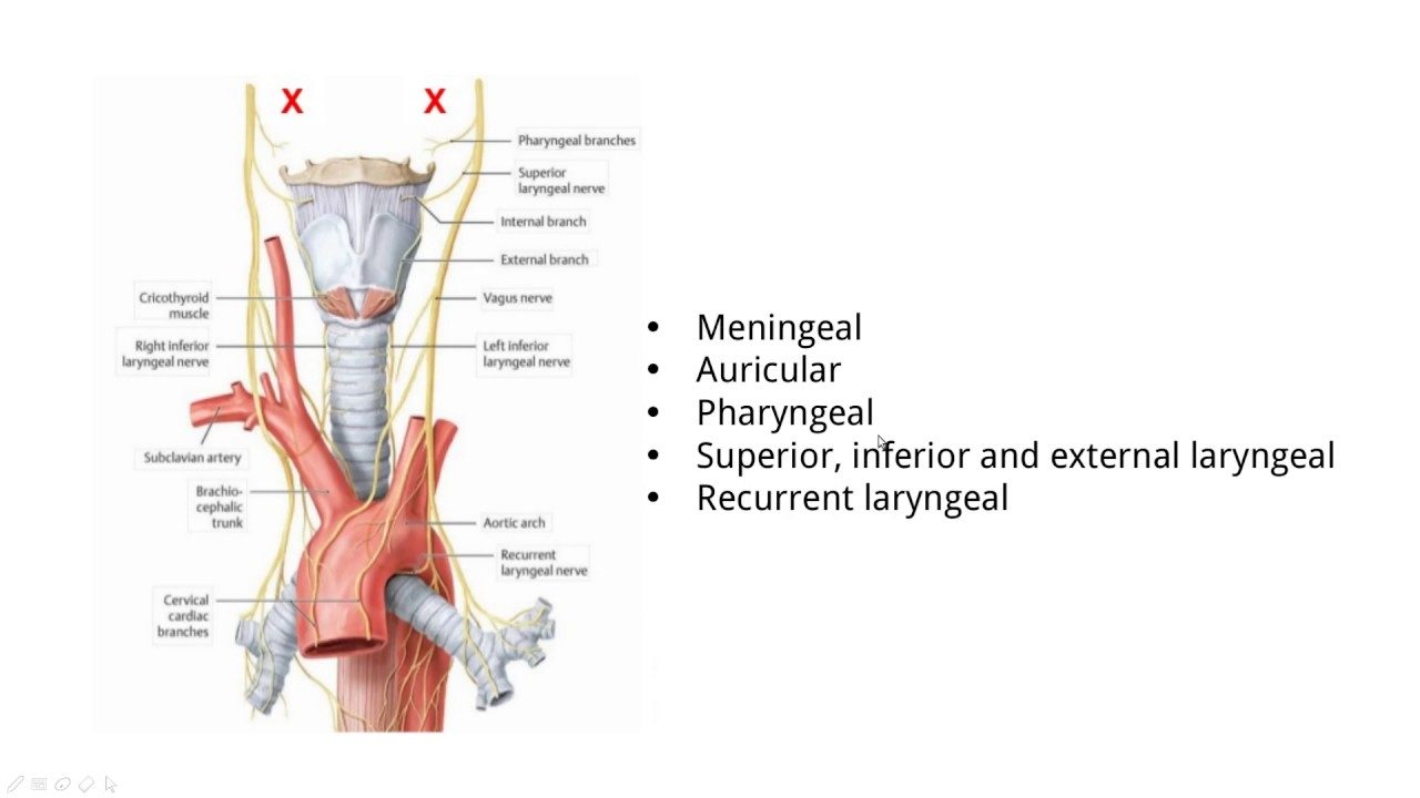 TOPIC 2,3] Glossopharyngeal, Vagus, Spinal Accessory nerves (CN IX,X ...
