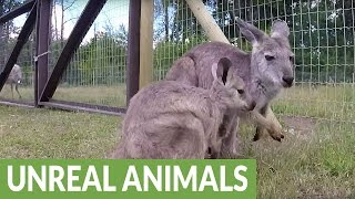 Enormously large baby wallaby falls from mother's pouch