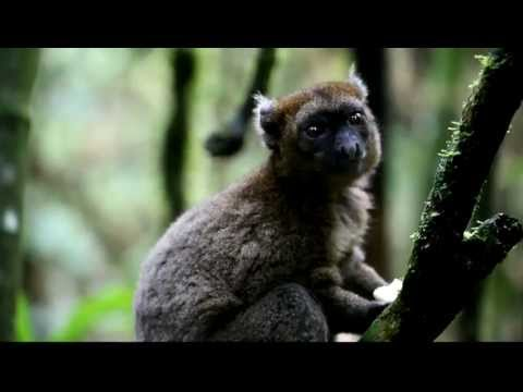 Greater Bamboo Lemurs Playing in Madagascar's Ranomafana Rainforest