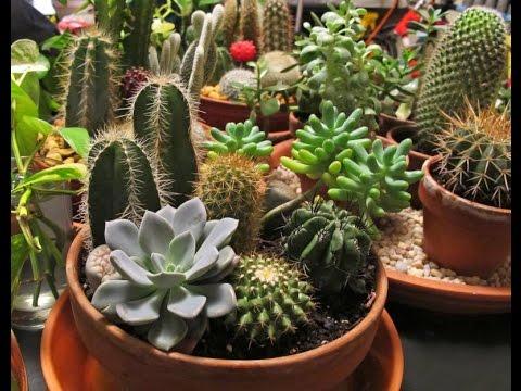 How To Care Cactus Combo Bonsai Trees