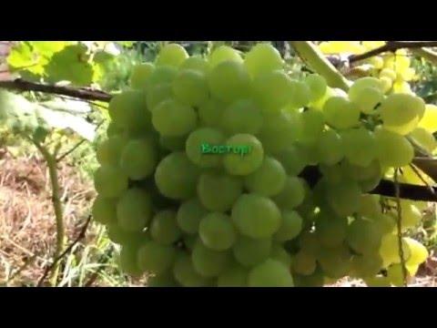 Сорта винограда ( часть 1 )