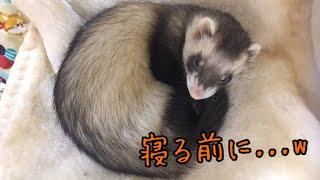 2017.03.13生まれの パスバレーフェレット その名も【茶々丸】さん☆ 寝...