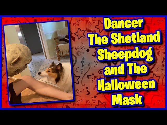 Dog Reacts to Halloween Mask #shorts #sheltie
