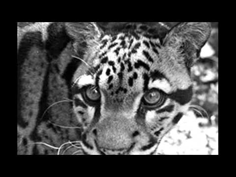 R.I.P The Formosan Clouded Leopard