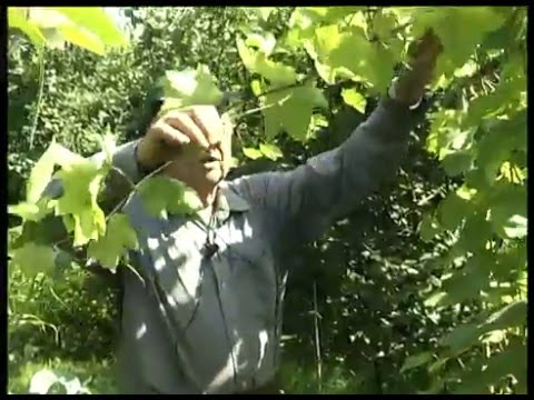 Уход за виноградом. Сорт Агат Донской