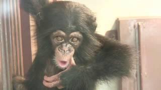 Download Video チンパンジー 双子の赤ちゃん103  Chimpanzee twin baby MP3 3GP MP4