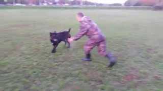 Собаки страшные кони корса и ротвейлер