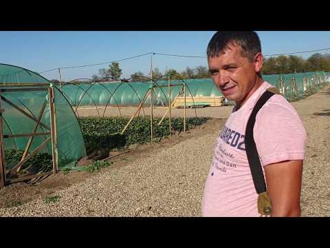 Клубничное хозяйство белореченского мега клубничника
