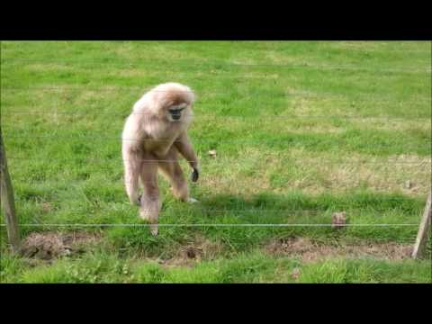 Gibbon freaks out over hedgehog