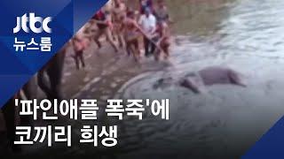 파인애플 먹으려다…새끼 밴 엄마코끼리 입에서 터진 폭죽 / JTBC 뉴스룸