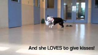 Lady A Boxer:american Pit Bull Terrier Mix Available For Adoption At The Wisconsin Humane Society