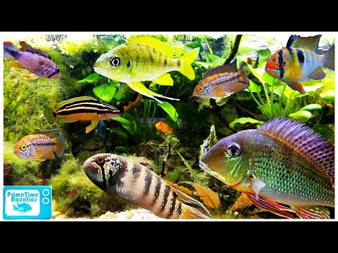 15 Great Cichlids For Planted Aquariums!