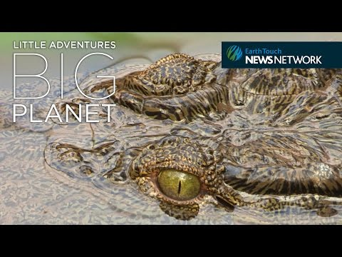 Zoo-born crocs released to the wild in the Congo