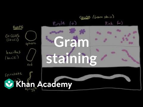 Bacterial characteristics - Gram staining | Cells | MCAT | Khan Academy