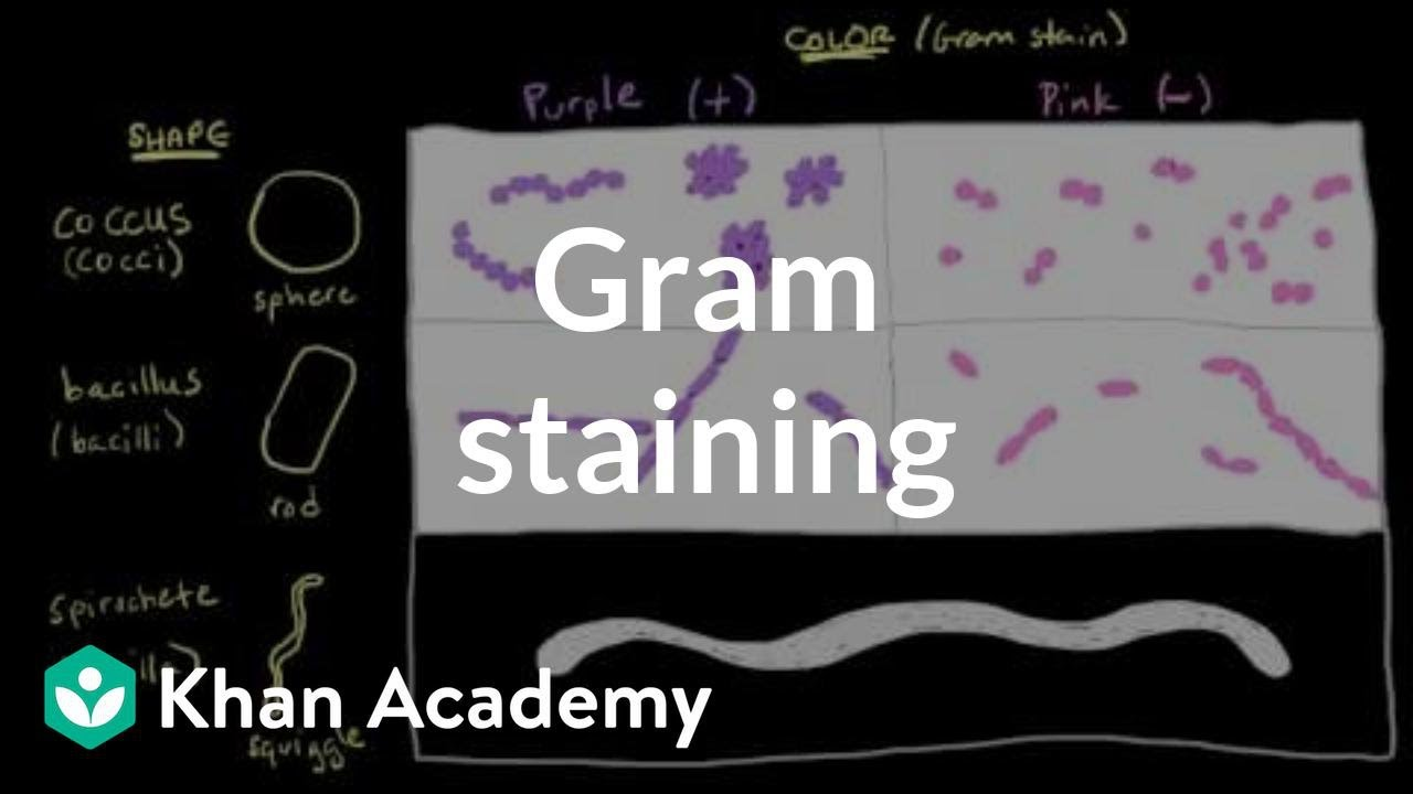 Bacterial characteristics - Gram staining (video) | Khan Academy