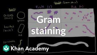 Bacterial characteristics - Gram staining | Cells | MCAT | Khan Academy