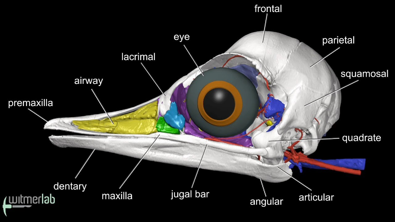 Visible Interactive Ostrich - labelled head & skull anatomy - YouTube