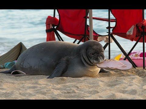 Hawaiian Monk Seal Pup Kaimana VS The Slipper