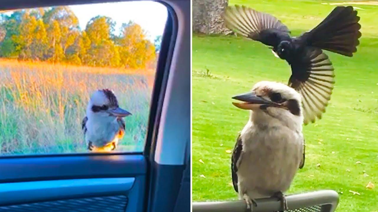 Ozzy Man Reviews: Kookaburras