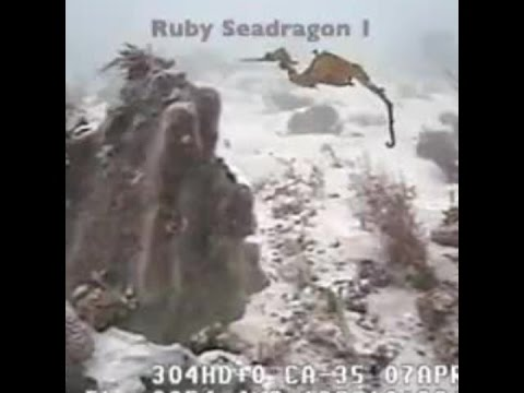 Ruby seadragon seen alive for the first time
