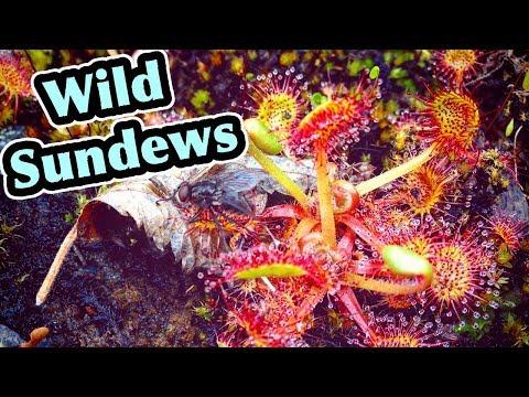 Wild Carnivorous Plants (Sundews) In Alaska