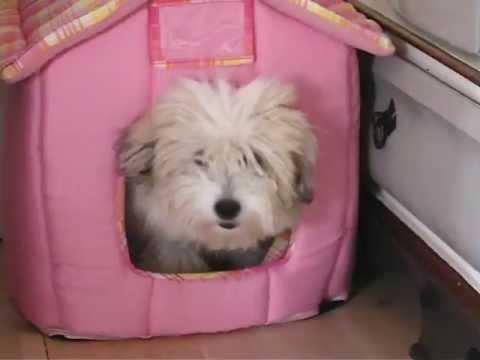 Very funny 5 month Coton De Tulear puppy
