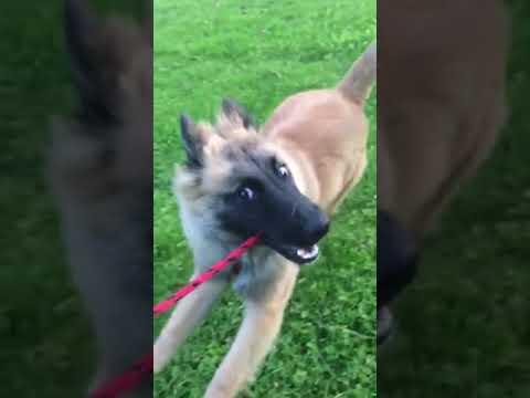 Khaleesi, a Belgian Sheepdog, Plays chase the person